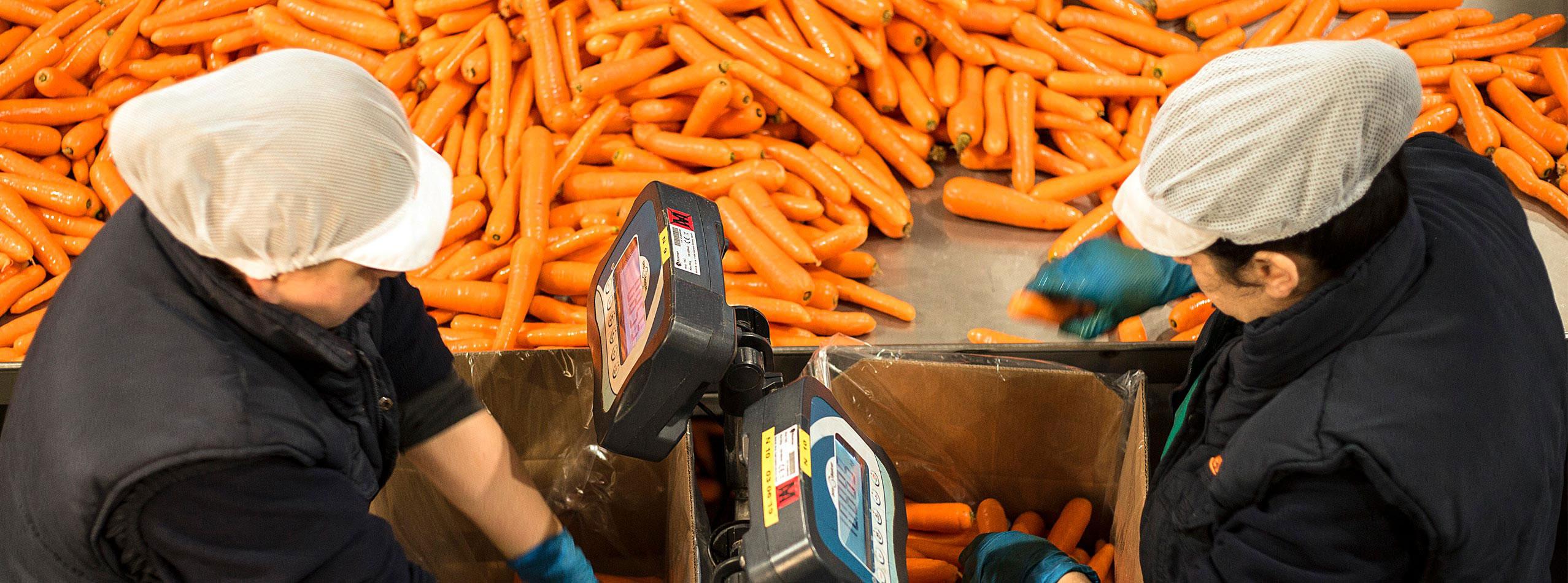 Seleccionamos el calibre de la zanahoria a petición del cliente